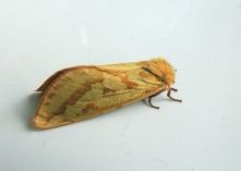 Big-Golden-Yellow-Moth