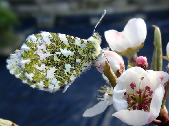 Butterfly on my apple-blossom this spring