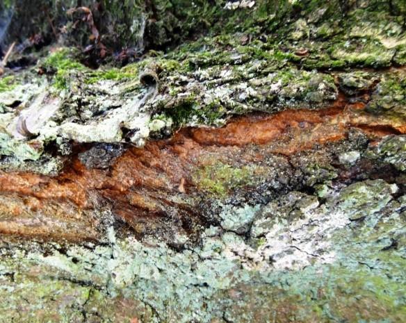 Oxford lichen bark